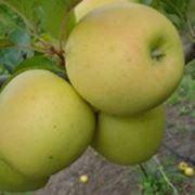 Яблуня Сильвия