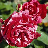 Роза Deep Impression(Дип Импрешн)флорибунда саженец