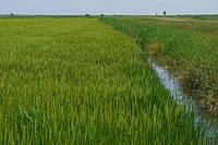 Калифорнийская экспериментальная станция риса представляет устойчивый к гербицидам рис ROXY