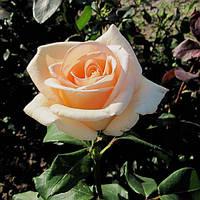 Роза Осиана (Osiana)чайно-гибридная саженец