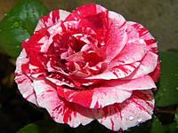 Роза Chaim Soutine (Хаим Сутин)чайно-гибридная саженец