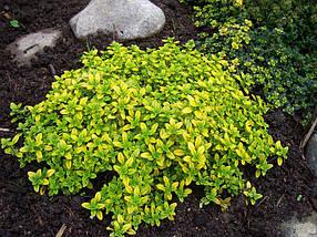 Тимьян лимоннопахнущий Аурея, садовые цветы (саженец в горшке р-9 )
