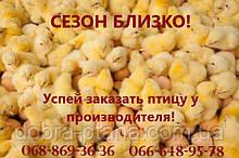 Суточная птица от производителя. Доставка по Украине