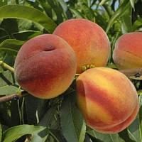 Персик Ореховый