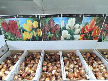 Луковицы цветов оптом в Шоу-боксе