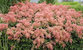 Астильба Тунберга Страунсенфедер   , садовые цветы (саженец в горшке р-9 )