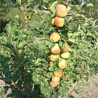 Яблоня колоновидная Болеро саженцы