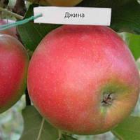 Яблоня колоновидная Джина саженцы