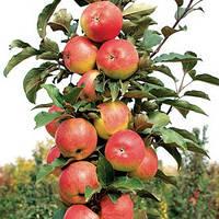 Яблоня колоновидная Останкино саженцы