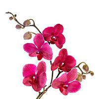 Різновиди Орхідей