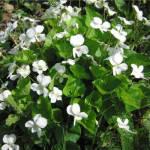 Фиалка шаровидная многолетняя белая