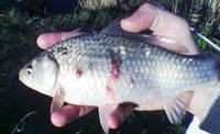 Краснуха - инфекционное заболевание у рыб.