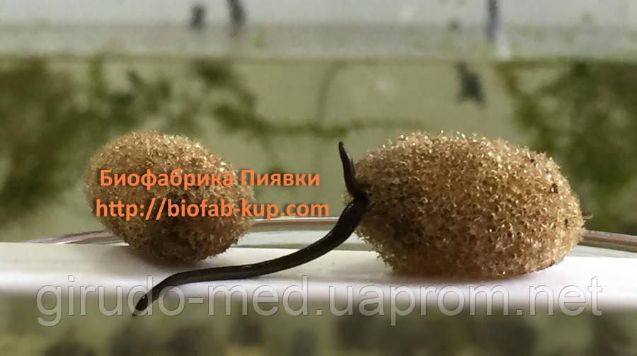 Пиявки продажа  в Харьков,менеджер Инна +38 068 615 7198