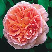 Роза Abraham Darby(Абрахам Дарби)чайно-гибридная саженец