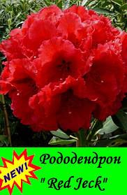 "Рододендрон "" Ред Джек "" ( саженец 2 года ЗКС ) Rhododendron "" Red Jeck """