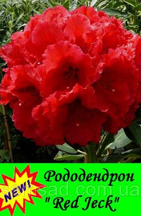 "Рододендрон "" Ред Джек "" ( саженцы 2 года ЗКС ) Rhododendron "" Red Jeck "", фото 2"