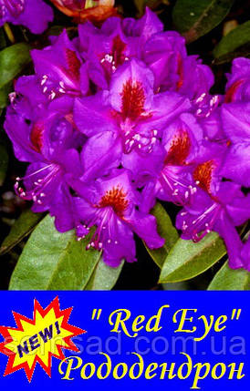 "Рододендрон "" Ред Еир "" ( саженцы 2 года ЗКС )  Rhododendron  Red Eye, фото 2"