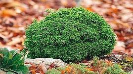 Кипарисовик горохоплідний Hime Sawara 3 річний, Кипарисовик горохоплодный Хайм Савара, chamaecyparis pisifera, фото 2