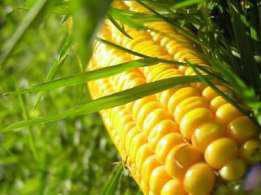 Семена кукурузы Гран 240 (ФАО 250), фото 2