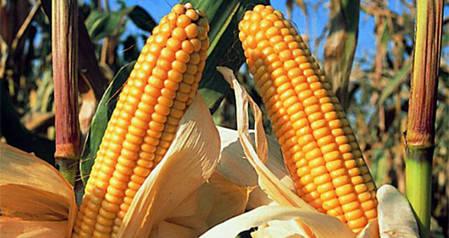 Семена кукурузы Гран 6 (ФАО 300), фото 2