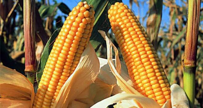 Семена кукурузы Амарок 290 (ФАО 320), фото 2