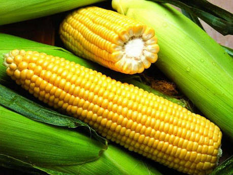 Семена кукурузы Яніс (ФАО 270), фото 2