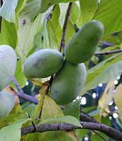 Азимина трехлопастная ( банановое дерево )
