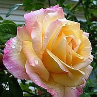 Роза Peace (Пис)чайно-гибридная саженец