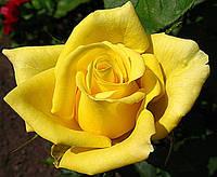 Роза Landora (Ландора)чайно-гибридная саженец