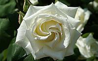 Роза Bianca (Бьянка)чайно-гибридная саженец