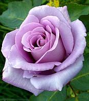 Роза Blue Moon (Блю Мун)чайно-гибридная саженец