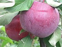 Яблоня  Княжна. (54-118). Осенний сорт.