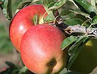 Яблоня  Бребурн. (Б7-35) Зимний сорт. )