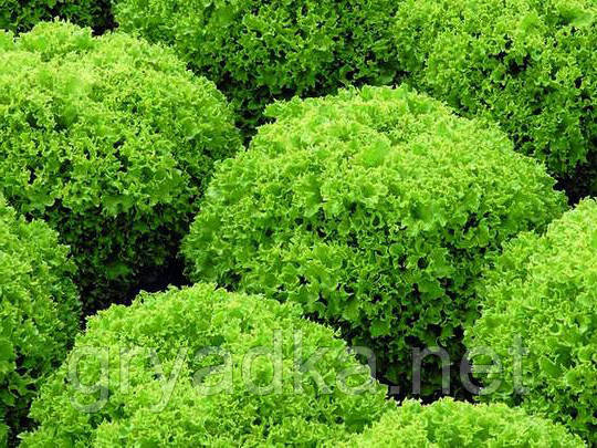 Салат Локарно F1 Rijk Zwaan 1000 семян