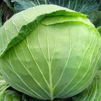 Семена капусты Лексикон F1 100 семян (Syngenta / Агропак+) — средне-поздняя (120-125 дней), вес 3кг