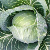 Семена б/к капусты Трансам F1 100 семян (Бейо/Bejo/ Агропак) — поздняя (128 дней), для хранения, до 6 месяцев