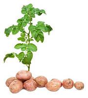 Схема живлення картоплі