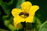 Огурцы пчелоопыляемые