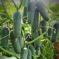 Семена огурца Седрик F1 (500 сем.)