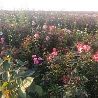 Плантация роз