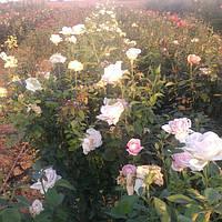 Фото саженцев роз