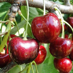 Саджанці черешні Кордія - пізнього строку, солодка, зимостійка
