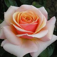 Роза Свит Ревелейшн