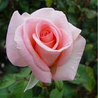 Роза Solo Pink (Соло Пинк)чайно-гибридная саженец