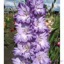 Луковицы Гладиолус Крупоцветковый Blue Frost 3 шт