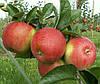 Саженцы яблони Райка. (54-118). (вс). Зимний сорт.