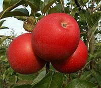 Яблоня Богемия. (Б7-35) Зимний сорт. (с)