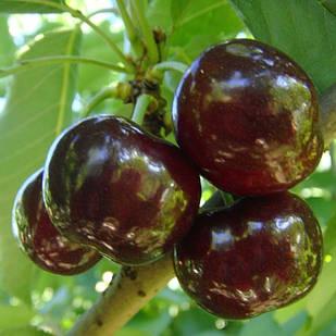Саджанці Черешні Світхарт – пізнього строку, крупноплідна, невибаглива, солодка