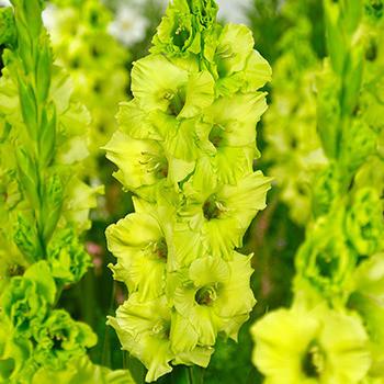 Луковицы Гладиолус Крупоцветковый Evergreen 3 шт