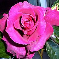 Роза Orient Spice (Ориент Спайс)чайно-гибридная саженец